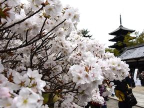 仁和寺(御室桜)