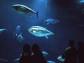 圧巻のスケール!マグロの群泳が人気!