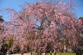 遅咲きの桜で、お花見を。