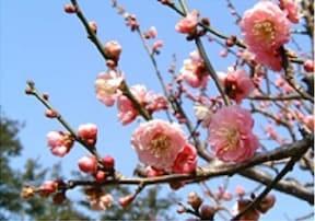 神代植物園/例年は3月下旬~5月中旬