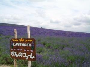 富良野・ラベンダー畑