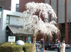 日本橋にあるしだれ桜