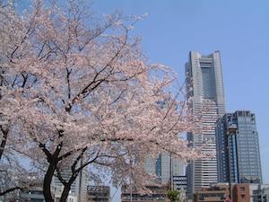 掃部山(かもんやま)公園:桜のバックにランドマークタワー