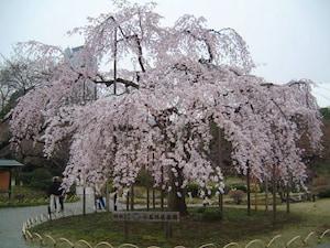 小石川植物園のしだれ桜