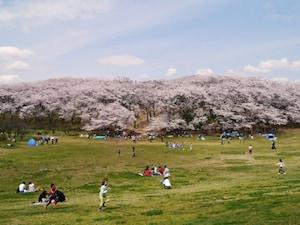 根岸森林公園:宴会というより「ピクニック」気分