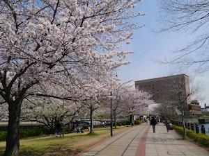 みなとみらい21地区:カップルが歩けば、桜にあたる!
