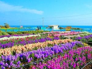 千倉温泉「白間津のお花畑」