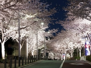 都会のど真ん中の夜桜!六本木さくら坂