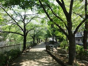 神田川沿い桜並木