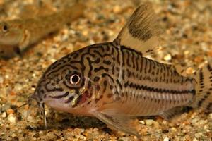 飼いやすさ抜群!丈夫なペット 一人暮らしで癒しの熱帯魚