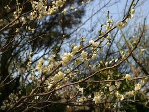 春はすぐそこまで!横浜で観梅イベント