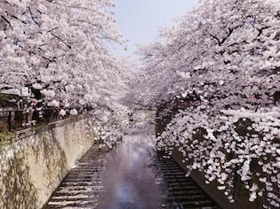 川沿いに800本のソメイヨシノが並ぶ「目黒川」(目黒区、品川区)