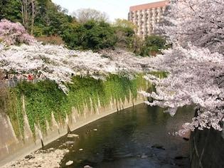 江戸川橋まで桜並木が続く「神田川」(新宿区)