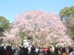 しだれ桜のライトアップが圧巻「六義園」(文京区)