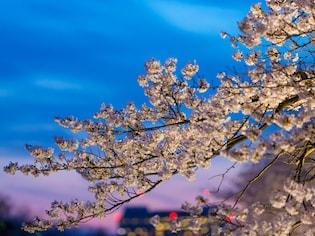 江戸情緒が味わえる、梅と桜のライトアップ