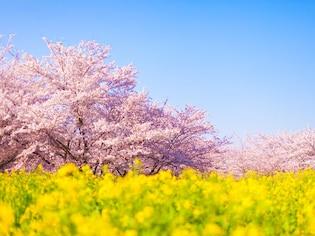 菜の花との共演も!埼玉の桜名所
