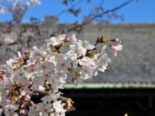 京都のお花見散歩に!桜の名所7選