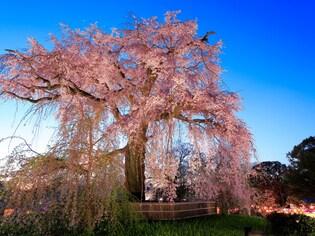 花見の名所として人気の円山公園から桜咲く京都を歩く