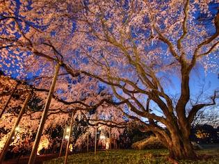 しだれ桜のライトアップが圧巻「六義園」