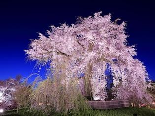 京都の夜桜といえば!円山公園の「祇園の夜桜」