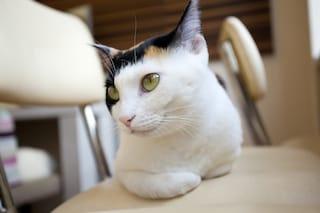 東レが猫の慢性腎臓病治療薬を開発 猫はなぜ腎機能が低下しやすい?