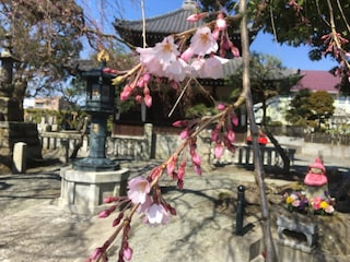 一部咲き始め!2017年鎌倉の桜の開花状況とイチオシ花見スポット情報