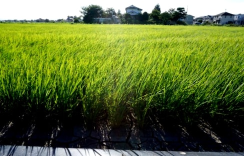 Things I Love About Japan: Rice Fields