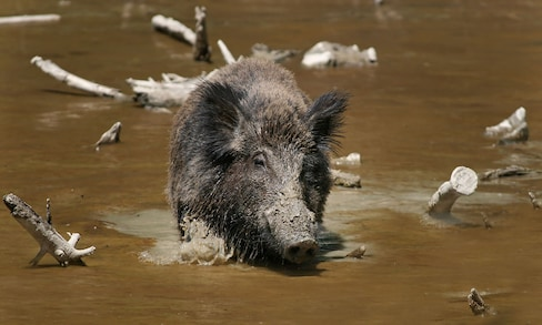 什么?这里的野猪数量比人还多?