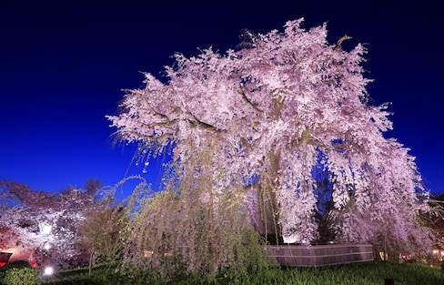 Kyoto's 5 Best Cherry Blossom Views