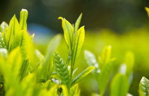 How to Brew the Perfect Cup of Green Tea