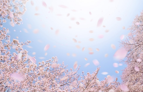 Cherry Blossoms & Climate Change