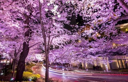 2017赏樱特辑・细数堪比幻境的东京5大夜樱观赏景点!