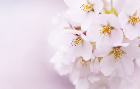 8 Key Sakura Types in Japan