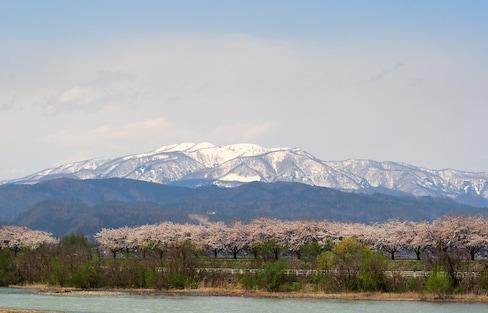 春日雪景尽收眼底|日本东北的雪中樱花漫步
