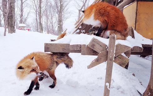 หลงรักสุนัขจิ้งจอกที่ Zao Fox Village