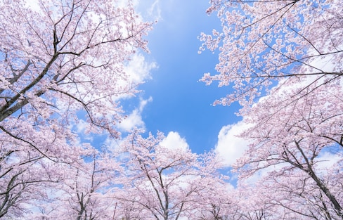 The First Cherry Blossom Forecast of 2019