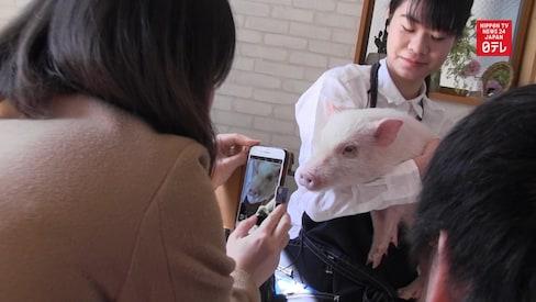 Pigs Populate the Latest Tokyo Animal Café