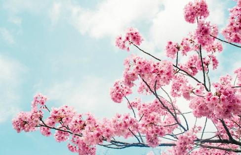 2019 Tokyo Sakura Season Officially Begins!