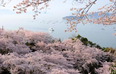 The Cherry Blossom Beauty of Shodoshima