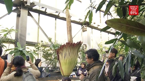 The World's Stinkiest Flowers Bloom in Ibaraki