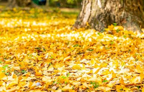 【日本】藝術與美食的秋天!別錯過銀杏樹所帶來視覺與味覺的饗宴