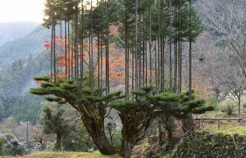 Trees on Trees on Trees: Cedar Platforms