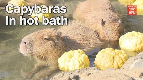 Adorable Capybaras Enjoy Relaxing Soak