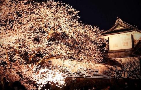 A Cherry Blossom Light-up at Kenrokuen