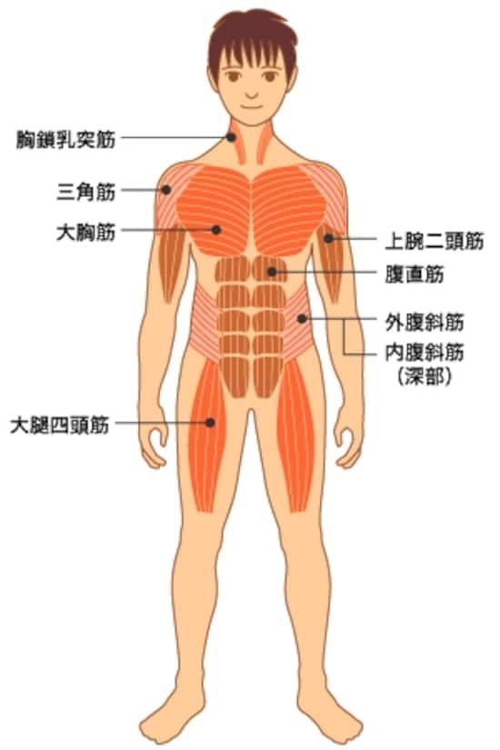 運動時に役立つ基本の筋肉図 エクササイズ All About