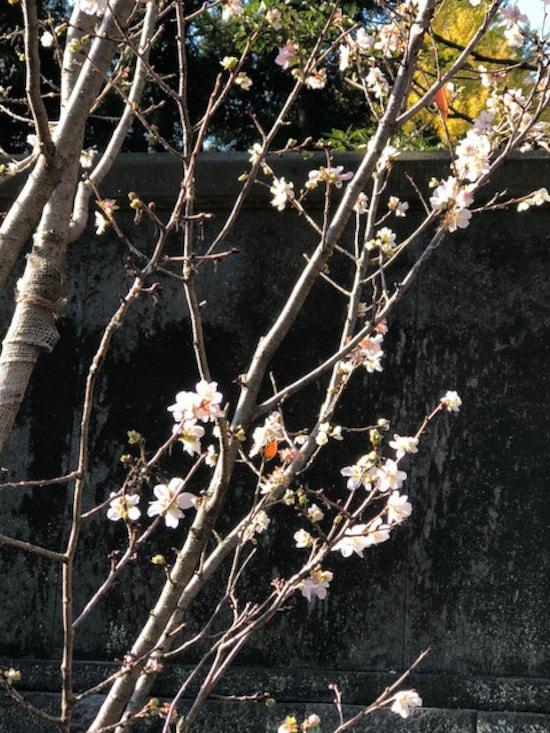 乾通りの冬桜