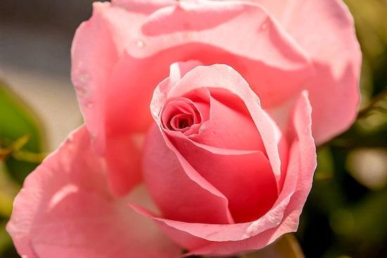 ローズピンクは、美容効果を高め、恋愛運を呼び込みます