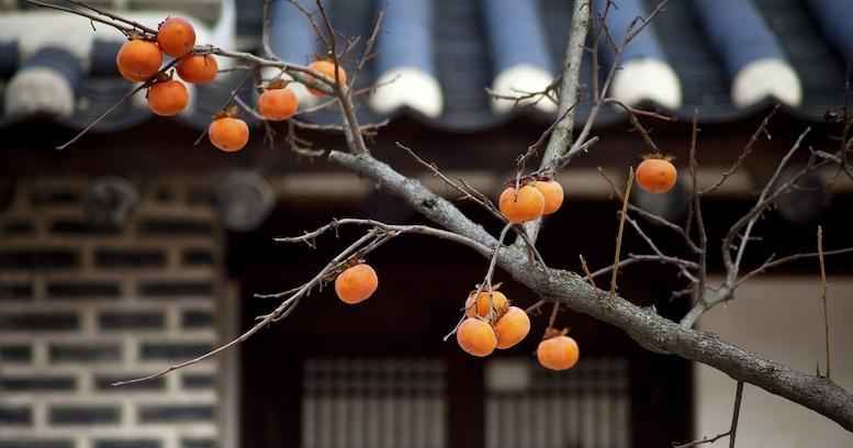 昭和の象徴? サザエさんちの庭にもあった「柿の木」と日本人の優しい関係