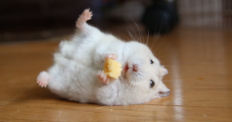 「チーズうめー!」全身で幸せを表現しているハムスターの画像が可愛すぎる!