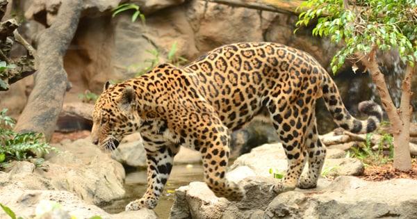 jaguar_02